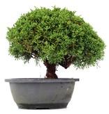 Juniperus chinensis Kishu, 21 cm, ± 15 jaar oud
