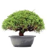 Juniperus chinensis Kishu, 22 cm, ± 15 jaar oud