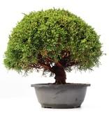 Juniperus chinensis Kishu, 23,5 cm, ± 15 jaar oud