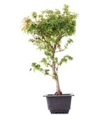 Acer palmatum Kotohime, 39 cm, ± 8 jaar oud