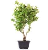 Acer palmatum Kotohime, 32 cm, ± 8 jaar oud