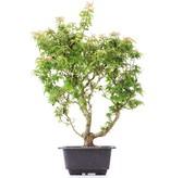 Acer palmatum Kotohime, 34 cm, ± 8 jaar oud