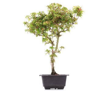 Acer palmatum Kotohime, 37 cm, ± 8 jaar oud