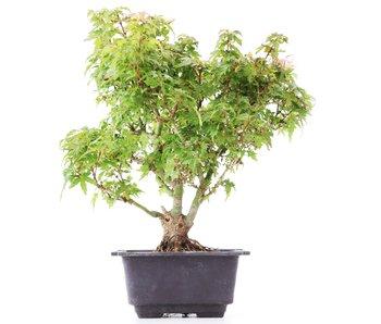 Acer palmatum Kotohime, 25 cm, ± 8 jaar oud