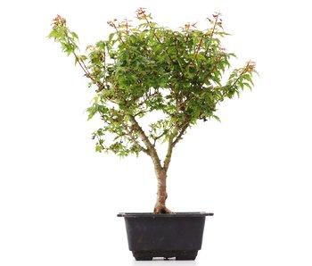 Acer palmatum Kotohime, 34 cm, ± 8 years old