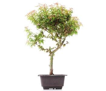 Acer palmatum Kotohime, 36 cm, ± 8 jaar oud