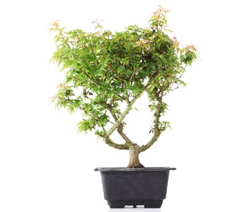 Acer palmatum Kotohime, 30 cm, ± 8 jaar oud