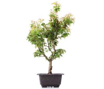 Acer palmatum Kotohime, 35 cm, ± 8 jaar oud