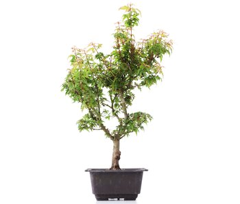 Acer palmatum Kotohime, 35 cm, ± 8 years old