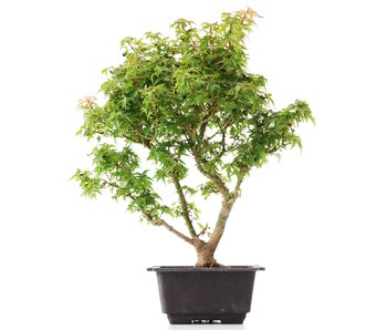 Acer palmatum Kotohime, 32 cm, ± 8 years old