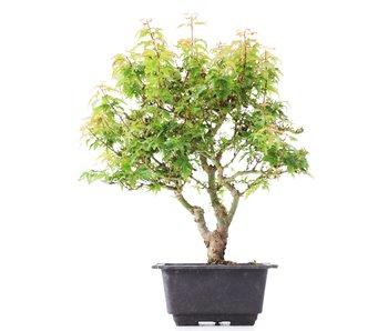 Acer palmatum Kotohime, 29 cm, ± 8 jaar oud