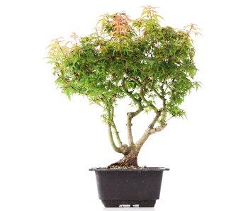 Acer palmatum Kotohime, 30 cm, ± 8 years old
