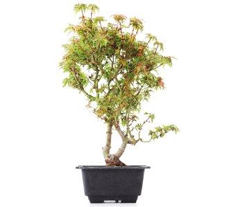 Acer palmatum Kotohime, 31 cm, ± 8 jaar oud