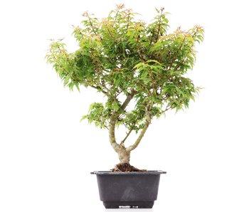 Acer palmatum Kotohime, 37 cm, ± 8 years old