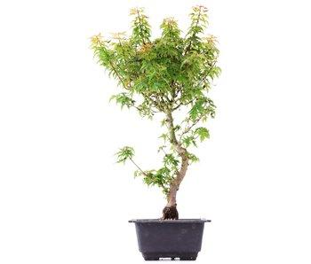 Acer palmatum Kotohime, 40 cm, ± 8 jaar oud