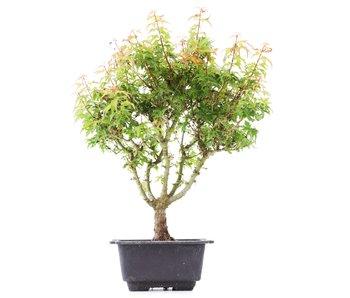Acer palmatum Kotohime, 33 cm, ± 8 years old