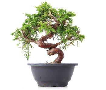 Juniperus chinensis Itoigawa, 19,5 cm, ± 10 years old