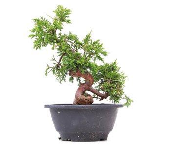 Juniperus chinensis Itoigawa, 22 cm, ± 10 jaar oud