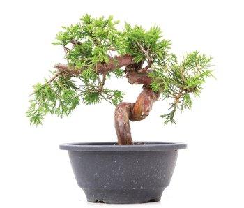 Juniperus chinensis Itoigawa, 16 cm, ± 10 jaar oud