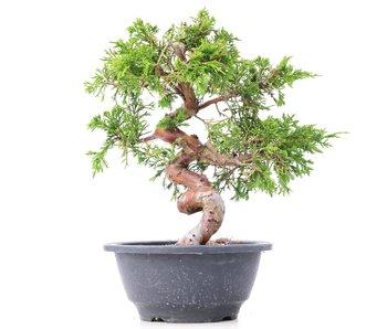 Juniperus chinensis Itoigawa, 23 cm, ± 10 years old