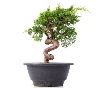 Juniperus chinensis Itoigawa, 19,5 cm, ± 10 jaar oud