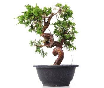 Juniperus chinensis Itoigawa, 23 cm, ± 10 jaar oud