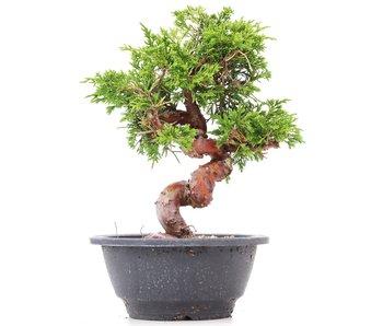 Juniperus chinensis Itoigawa, 22 cm, ± 10 years old