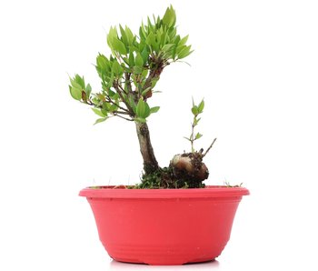 Myrtus communis, 19 cm, ± 8 jaar oud