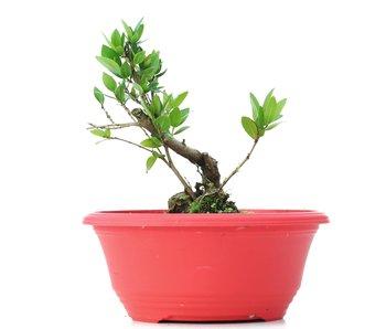 Myrtus communis, 14 cm, ± 8 jaar oud