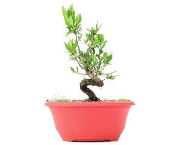 Myrtus communis, 20 cm, ± 8 jaar oud