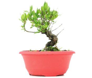 Myrtus communis, 15 cm, ± 8 jaar oud