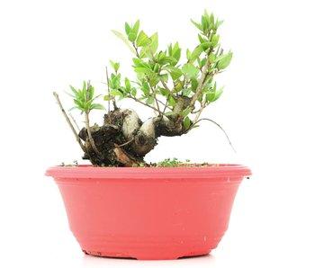 Myrtus communis, 13 cm, ± 8 jaar oud