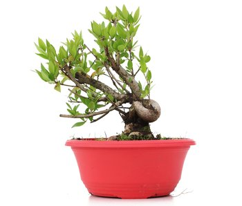 Myrtus communis, 18,5 cm, ± 8 years old