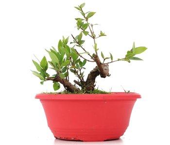 Myrtus communis, 15,5 cm, ± 8 years old