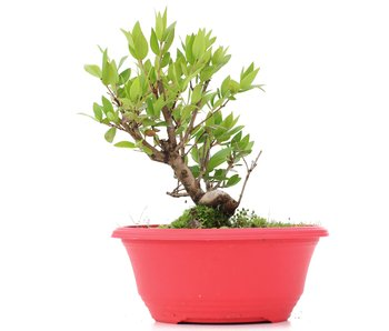 Myrtus communis, 17,5 cm, ± 8 jaar oud