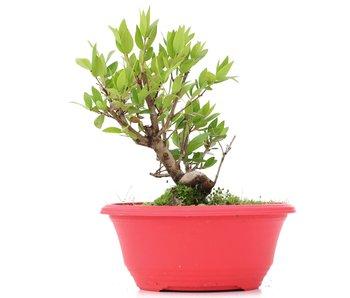Myrtus communis, 17,5 cm, ± 8 years old