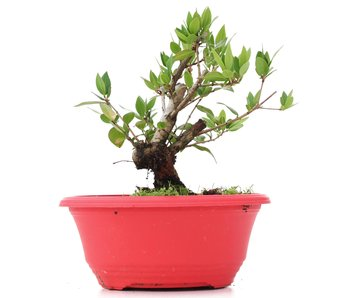 Myrtus communis, 15 cm, ± 8 years old