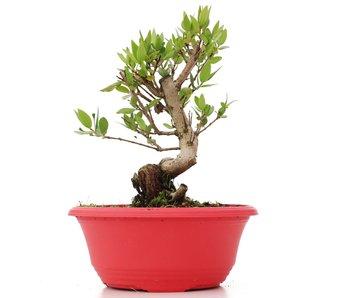 Myrtus communis, 18,5 cm, ± 8 jaar oud