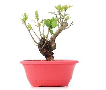 Myrtus communis, 18 cm, ± 8 jaar oud