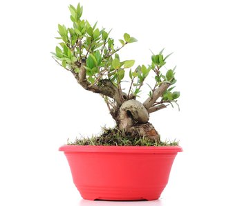 Myrtus communis, 19,5 cm, ± 8 years old