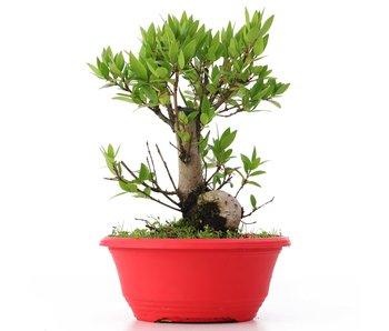 Myrtus communis, 20,5 cm, ± 8 years old