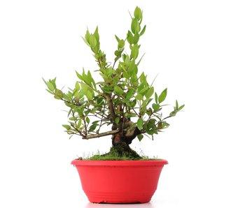 Myrtus communis, 28 cm, ± 8 years old