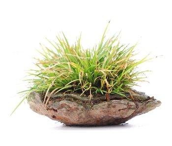 Acorus grameneus, 7 cm, ± 10 jaar oud