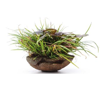 Acorus grameneus, 10 cm, ± 10 jaar oud