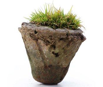 Acorus grameneus, 5,3 cm, ± 10 jaar oud