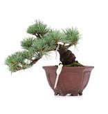 Pinus parviflora, 11 cm, ± 10 years old