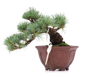 Pinus parviflora, 11 cm, ± 10 anni