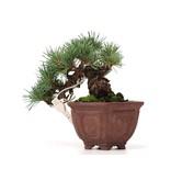 Pinus parviflora, 11 cm, ± 10 jaar oud