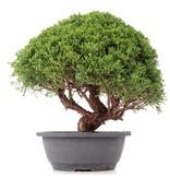 Juniperus chinensis Kishu, 30 cm, ± 15 jaar oud