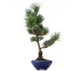 Pinus parviflora Goyomatsu, 41 cm, ± 8 years old